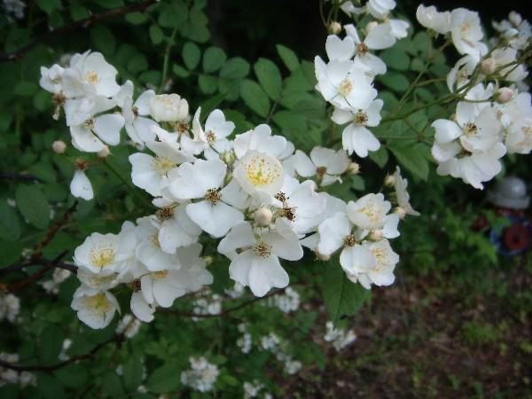 Multiflora rose 5.30.09