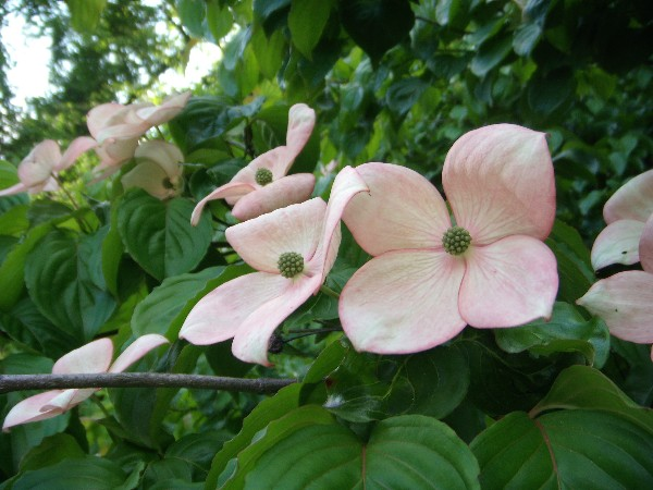Pink dogwood 5.30.09